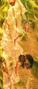 Nr.3 Foto Diaprojektion bedrucktes Chinapapier Irisknospe Schwangerschaft Apfel Fruchtbarkeit Symbol Mutterschaft Schoß Kunst